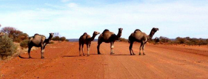 Four camels